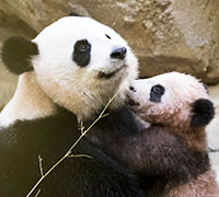 panda zoo beauval